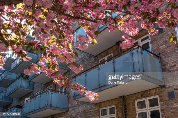 cherry tree in bloom with pink flowers. apartment building with balconies in the background - dorte fjalland fotografías e imágenes de stock