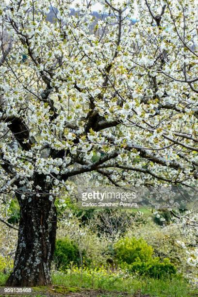cherry tree in jerte valley - extremadura fotografías e imágenes de stock