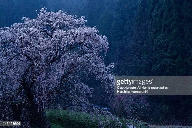 Cherry tree in rain