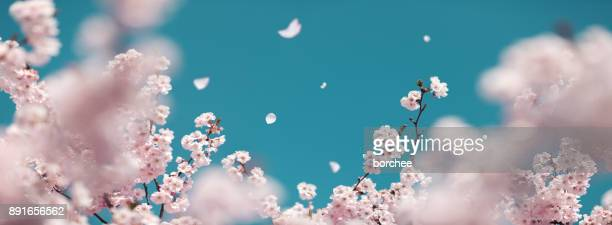 cherry tree in spring - pink flowers stock pictures, royalty-free photos & images