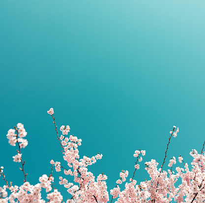 Cherry Tree In Spring 891955964