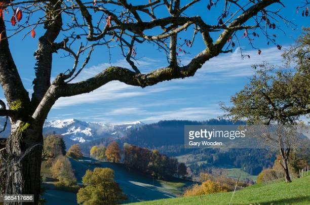 cherry tree in the pre-alps - pre season bildbanksfoton och bilder