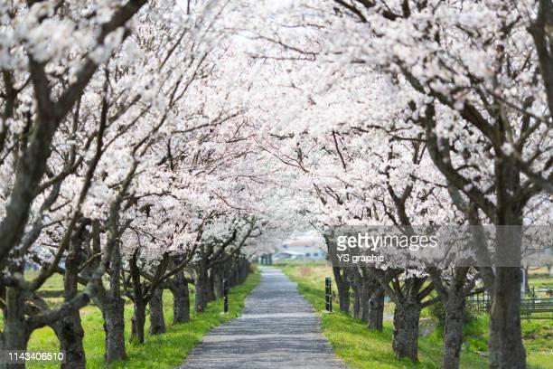 cherry tree lined tunnel - 桜 ストックフォトと画像