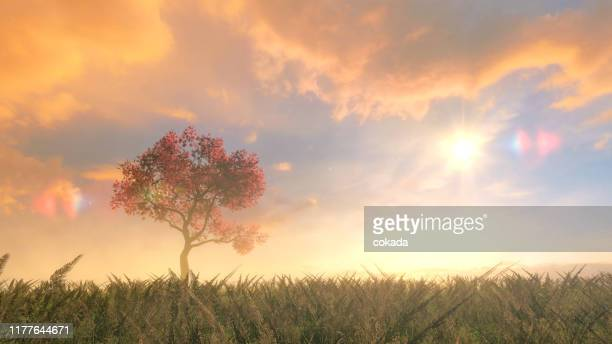 cherry tree on the field - sunshine and flowers stock pictures, royalty-free photos & images