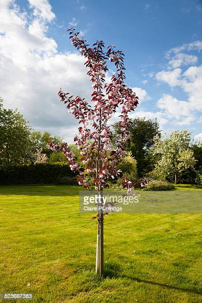 cherry tree - claire plumridge stock pictures, royalty-free photos & images