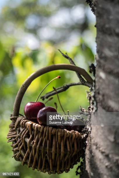 cherry tree - susanne ludwig stock pictures, royalty-free photos & images