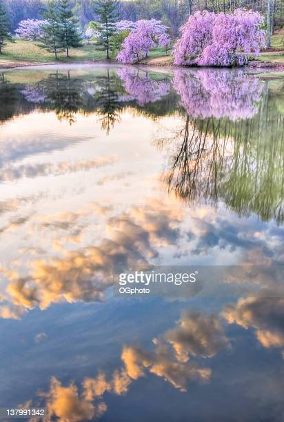 cherry tree reflection - ogphoto stock photos and pictures