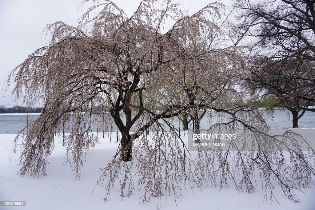A cherry tree with branches drooping with ice-covered blossoms is seen near the Potomac River on March 14, 2017 in Washington, DC. Winter Storm Stella dumped snow and sleet Tuesday across the northeastern United States where thousands of flights were canceled and schools closed, but appeared less severe than initially forecast. NGAN