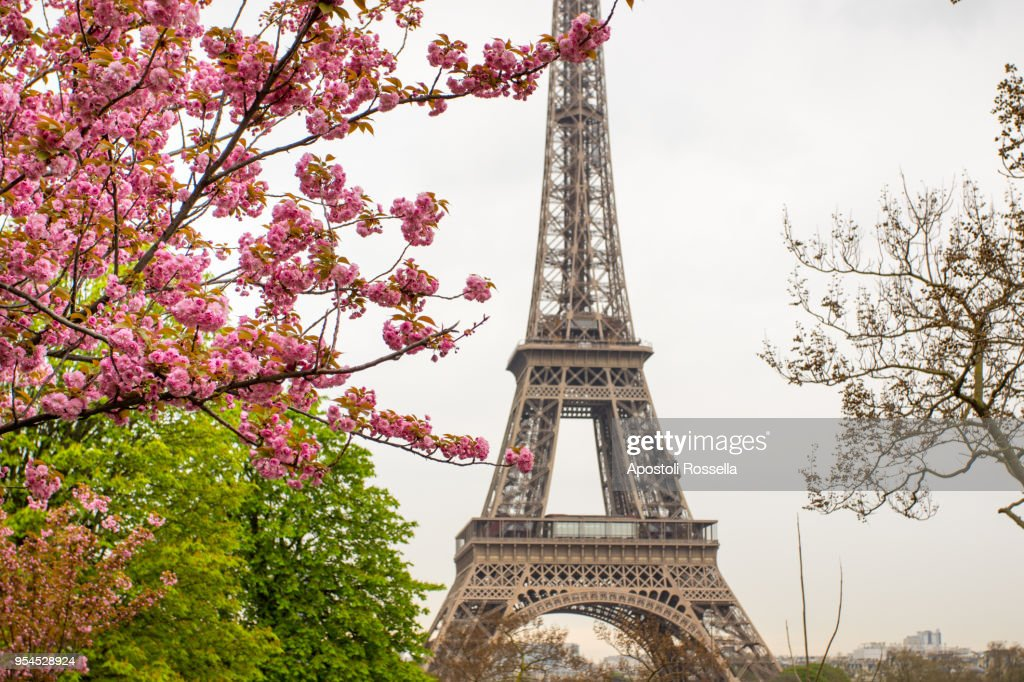 cherry tree with Eiffel Tower background : Stock Photo