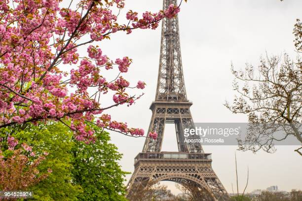 cherry tree with eiffel tower background - peach blossom stock pictures, royalty-free photos & images