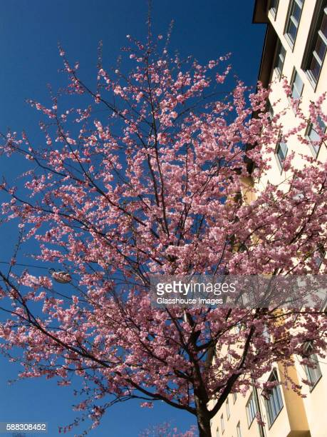 Cherry Tree With Pink Blossoms, Low Angle View
