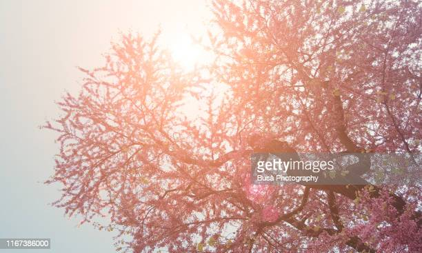 cherry tree with sun glare in spring - hanami stock pictures, royalty-free photos & images
