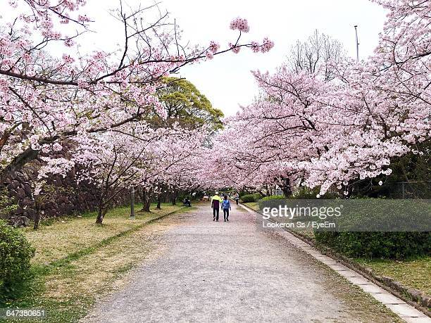 cherry trees amidst road at park - fukuoka city stock pictures, royalty-free photos & images