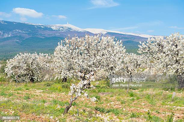 Cherry trees and Mt Ventoux Provence France