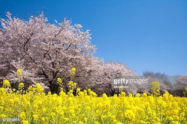 Cherry Trees and Oilseed Rape Field, Tokyo, Japan