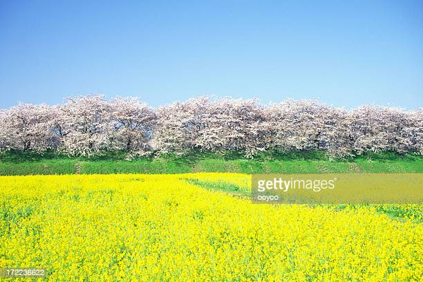 Cherry trees and rapes in full bloom