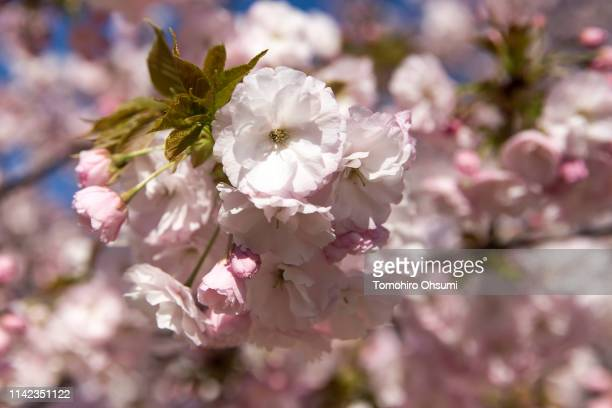 Cherry trees are in bloom during the cherry blossom viewing party hosted by Japan's Prime Minister Shinzo Abe at the Shinjuku Gyoen National Garden...