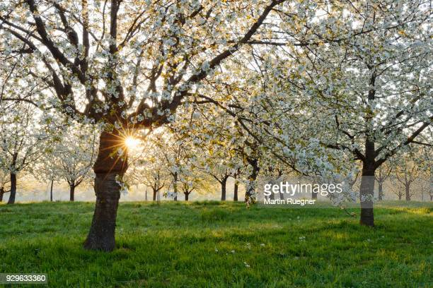 cherry trees at blossom with sunrays near sunrise at backlight, spring. baden-württemberg, ortenau, germany. - bloesem stockfoto's en -beelden
