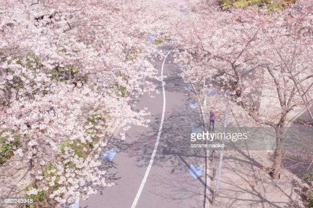 Cherry trees avenue