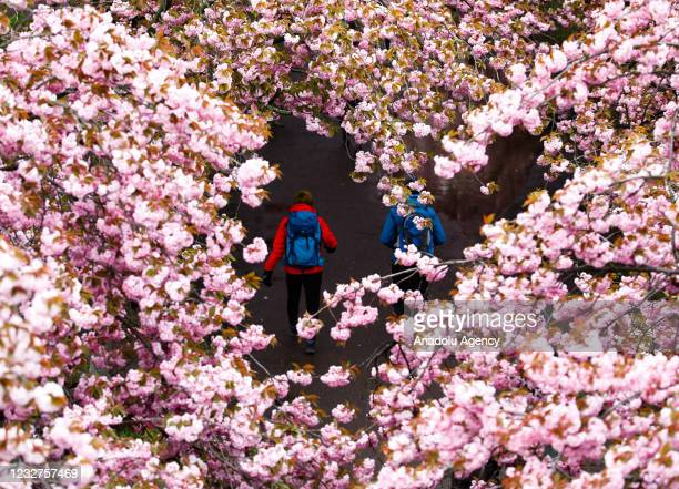 Cherry Trees blossom at Cherry Blossom Street during spring season in Berlin, Germany on May 08, 2021.