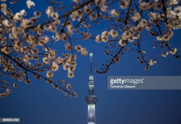 Cherry trees blossom in front of the Tokyo Skytree illuminated at night on March 27 2018 in Tokyo Japan Japan's Meteorological Agency confirmed on...