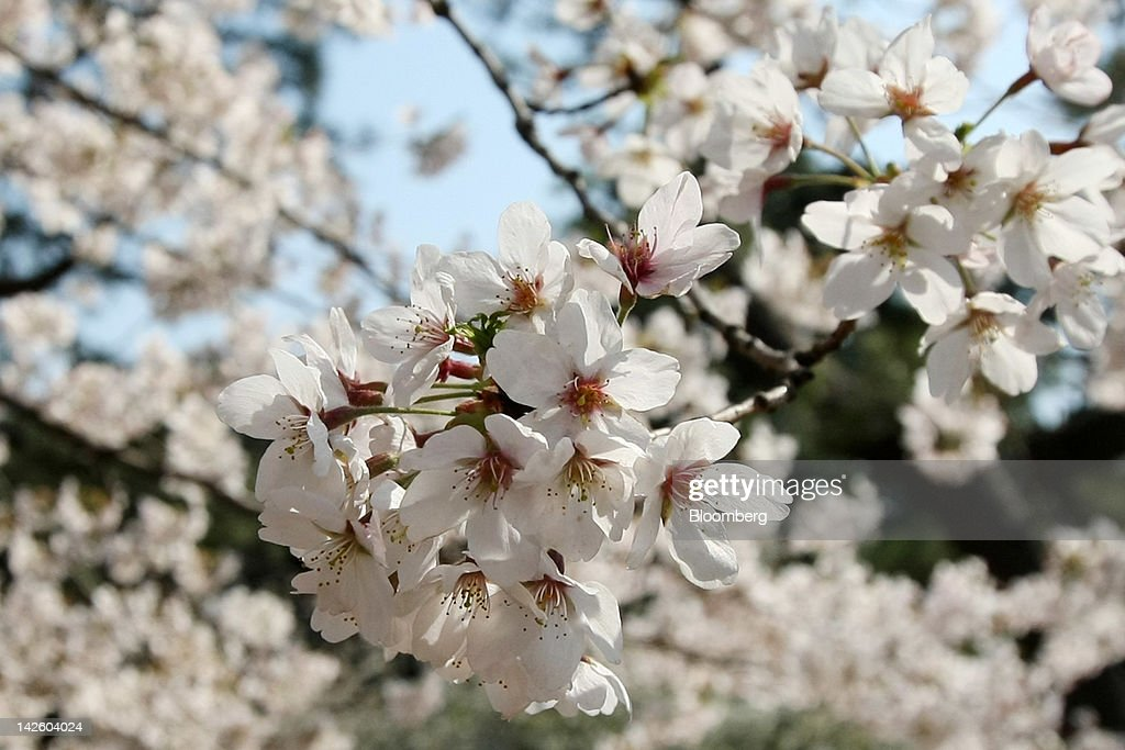 General Imagery Of Cherry Blossom In Bloom : News Photo