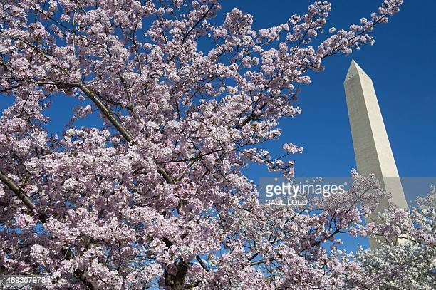 Cherry trees blossom near the Washington Monument on the National Mall in Washington DC April 11 2015 The cherry blossoms originally a gift from...