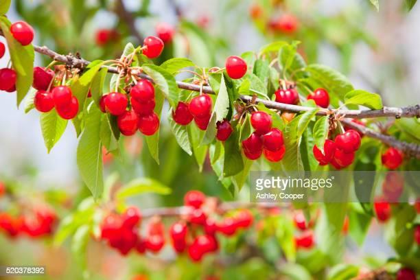 cherry trees in an orchard near villena, murcia, spain. - junho imagens e fotografias de stock