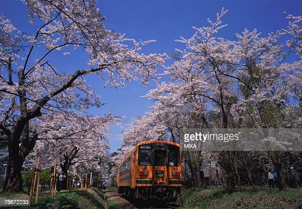 Cherry trees in Ashino Park