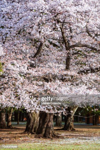 Cherry trees in full bloom in a public park, Tokyo