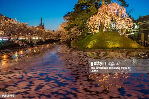 cherry trees in the night - präfektur aomori stock-fotos und bilder
