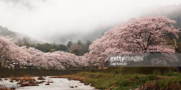 Cherry Trees in the Rain