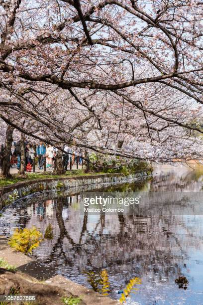 cherry trees reflected in lake, tokyo, japan - ueno park stock photos and pictures