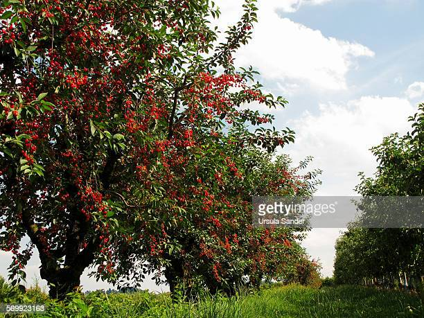 cherry trees with ripe cherries in a row - low angle view stock pictures, royalty-free photos & images