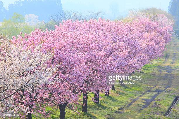 Cherry trees, Yamagata Prefecture