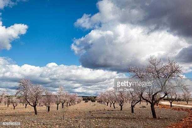 cherry trees.Montiel Fields. spain