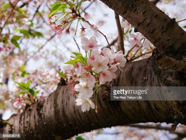 cherry_blossom_1330537.jpg - thursday stock pictures, royalty-free photos & images