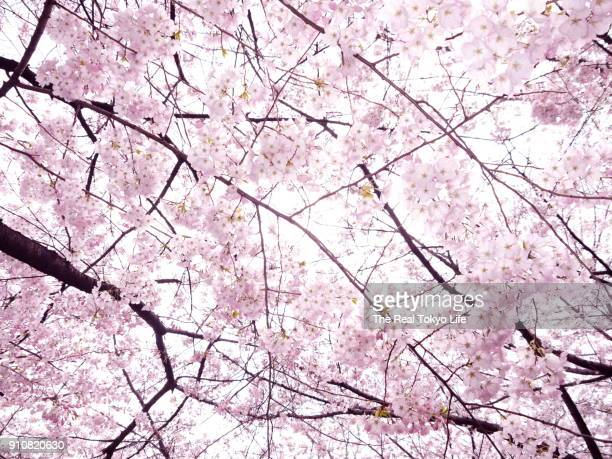 cherry_blossom_p1080281.jpg - hanami stock pictures, royalty-free photos & images