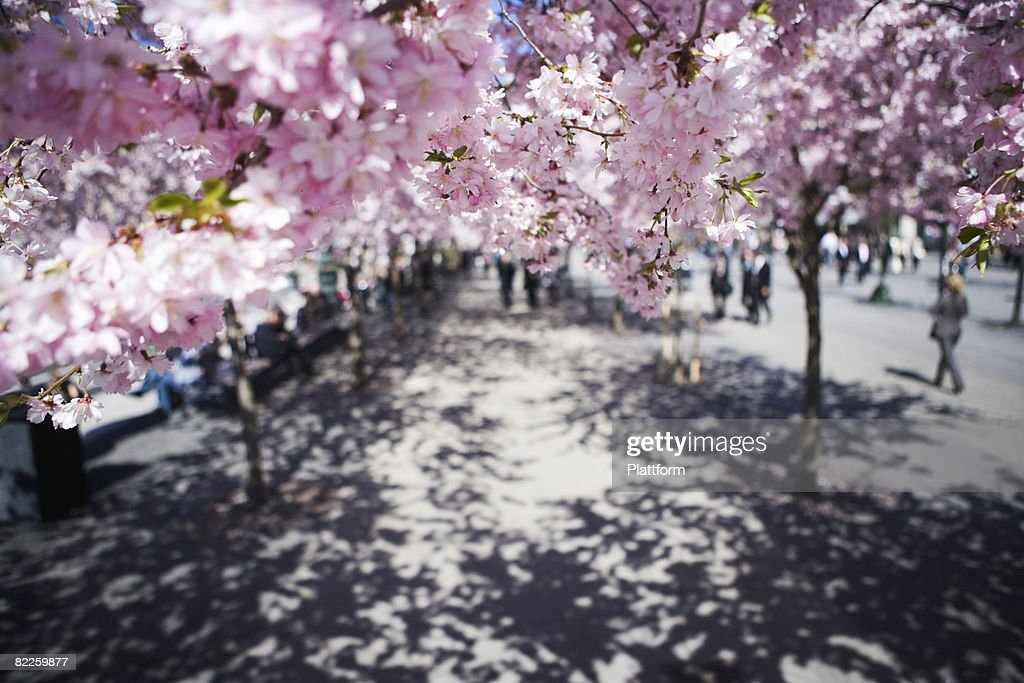 Cherry-trees Stockholm Sweden. : Stock Photo