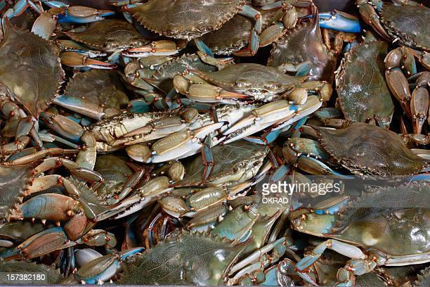 Chesapeake Bay Blue Crab Background