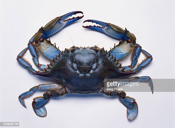 chesapeake bay blue crab  - blue crab stock photos and pictures