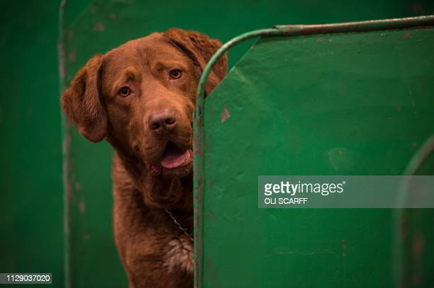 A Chesapeake Bay retriever dog looks out from its pen on the first day of the Crufts dog show at the National Exhibition Centre in Birmingham central...