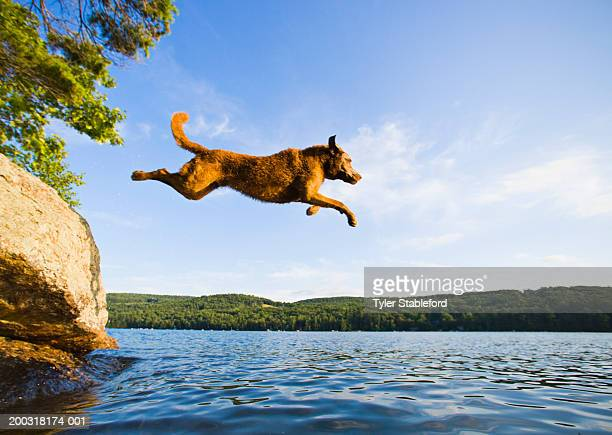 Chesapeake Bay Retriever jumping into lake, side view, summer