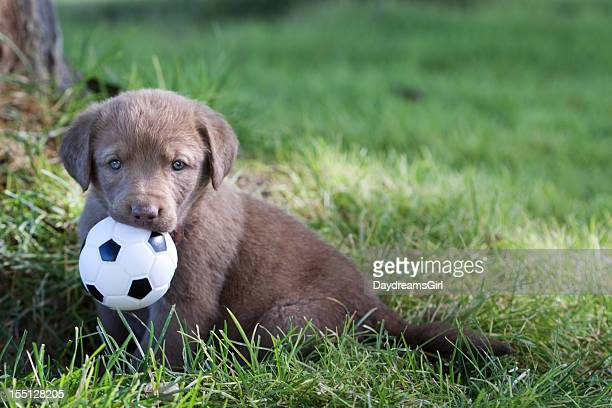 chesapeake bay retriever puppy with toy ball - hairy balls stock photos and pictures