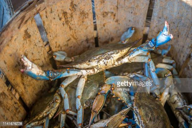 Chesapeake blue crab lifts up its claws standing in basket, Dundalk, Maryland.