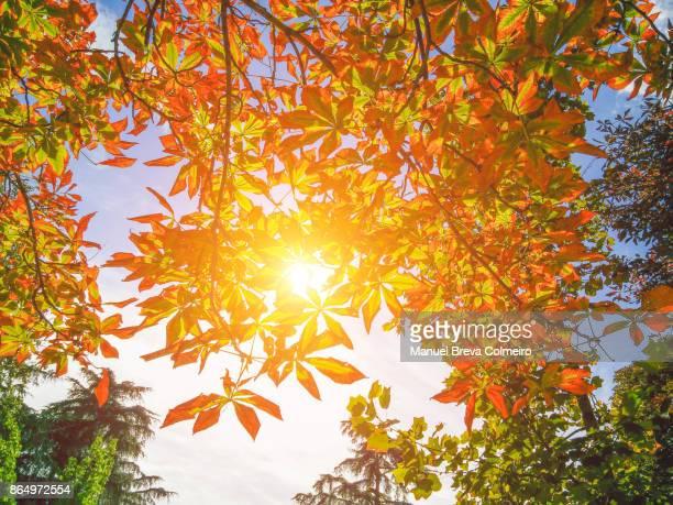 Chesnut in autumn