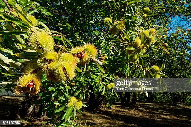 chesnuts,the national park of cevennes, languedoc roussillon, france - châtaigne photos et images de collection