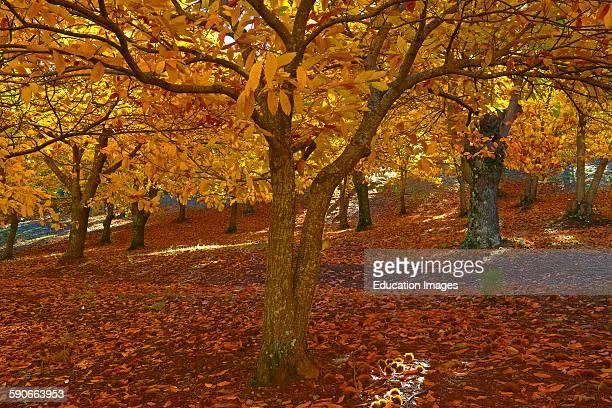 Chesnutt forest Castanea sativa Valle del Genal Autumn Genal Valley Genal river valley Serranía de Ronda Malaga province Andalusia Spain