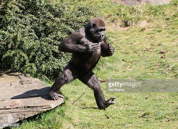 chest thumping gorilla - gorilla hand stock photos and pictures
