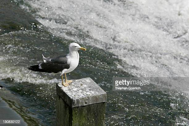 chester, gbr, 23. aug. 2005 - a seagull on river dee in chester. - vogel stock pictures, royalty-free photos & images